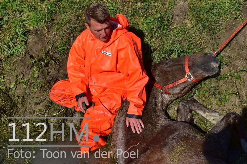 Paard te water Ommedijkseweg Leiden (3)